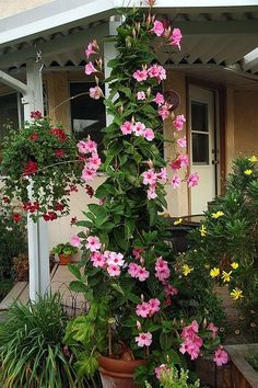 Rock trumpet plant - How to Care Mandevilla Vine plant in your Home and Garden ร . Rock trumpet plant – How to Care Mandevilla Vine plant in your Home and Garden Tree plants Put th Beautiful Flowers, Garden Vines, Flower Garden, Container Plants, Garden Design, Plants, Climbing Flowers, Container Gardening Flowers, Front Yard