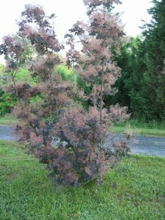 1000 Images About Shrubs Bushes Amp Trees On Pinterest