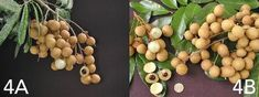 Longan fruit - growimg