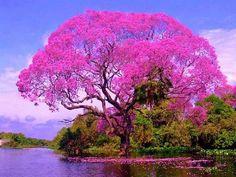BRAZILIAN TREE NAME ÌPE `ROSA | Paisajes naturales | Pinterest