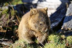 Wombat closeup, Sunset at Cradle Mountain, Tasmania   by neeravbhatt