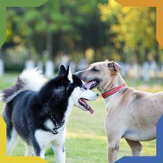 #PetsTip ¿Cómo debes presentar a tu perro con otros perros? 1. Preséntalos en una zona neutral. El parque es un lugar. 2. Ambos perros deben traer su correa puesta para poder controlarlos. 3. Cuando muestren interés suéltalos un poco. 4. Deja que se puedan ver y oler.
