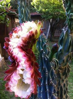 I think this is Cereus repandus f. monstrosa a. monstrose apple cactus with fasciated/mutated flower. Succulent Gardening, Cacti And Succulents, Planting Succulents, Planting Flowers, Weird Plants, Unusual Plants, Exotic Plants, Unusual Flowers, Rare Flowers