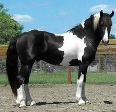 This boy is drooool worthy. Frisian sport horse. All kinds of perfect.