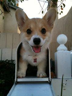corgi in a mailbox. too cute.