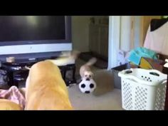 Miniature Labrador playing Soccer - YouTube