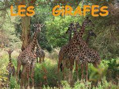 PROJECTE de les GIRAFES (Lacustaria)