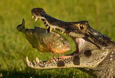 crocodile Photography by @ (Mariano Fernandez). A wild caiman eating a piranha. Les Reptiles, Reptiles And Amphibians, Mammals, Nature Animals, Animals And Pets, Cute Animals, Wild Animals, Epic Pictures, Cool Photos