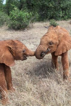 The David Sheldrick Wildlife Trust    Barsilinga and Faraja getting themselves set for a game of 'tug of war'.