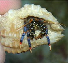 Blue leg Hermit Crab - Group of 100: The Blueleg Hermit Crab is a very popular Hermit Crab that is very active in the home aquarim. Their legs...