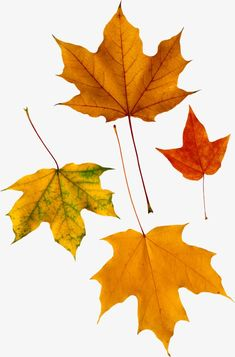 This high quality free PNG image without any background is about autumn, leaves, plant and seasonal.