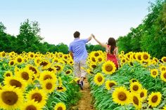 My engagement pictures will be taken in a sunflower field!