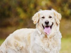 autumn portrait of a golden retriever dog Poster. Smartest Dog Breeds, Dog Throw, Dog Information, Dog Poster, Dogs Golden Retriever, Retriever Dog, Purebred Dogs, Kinds Of Dogs, Two Dogs