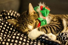 .Christmas kitty Cat.