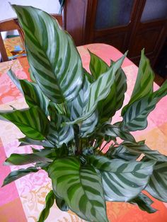 Potted Plants, Indoor Plants, Calathea Plant, Green Colour Palette, Plantar, Tropical Plants, Conservatory, Botany, Garden Projects