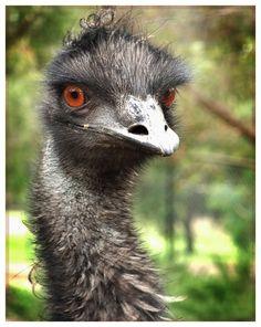 creeper emu.
