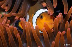 """© Blende, Sven Haustein,  Anemonenfisch in der Ausstellung der Fuldaer """"Scalare"""" im Tümpelgarten"""