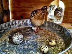 Our Little Coop: Quail Live Chicken, Chicken Runs, Raising Quail, Raising Chickens, Backyard Coop, Chickens Backyard, Chickens And Roosters, Pet Chickens, Mini Farm