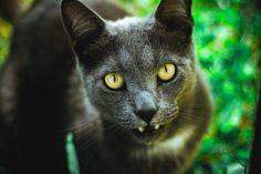 Ilmaisia Kuvia : vihreä, musta kissa, eläimistö, lähikuva, poskiparta, silmä, selkärankainen, venäjän sininen, Korat, pienille ja keskisuurille kissoille, kissa kuten nisäkäs 5184x3456 - - 53942 - Ilmainen Kuvapankki - PxHere