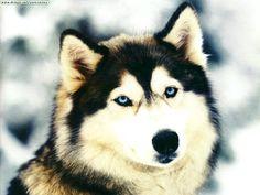 #lobo #animales #feroz