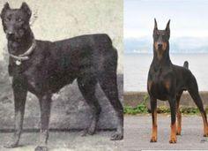 左:1915年のドーベルマン 右:2015年のドーベルマン