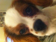 MY Fweckle Faced Cavalier King Charles Spaniel, Jasper.