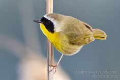 A male Common Yellowthroat, in the Warbler family, is a common occurrence at the Ridgefield NWR in Spring and Summer.  They are very small and like to hide in brush.  I was fortunate to catch this one on a cattail in April 2011.