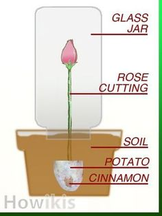 "Propagate Roses - Cut 8 to 9 inches of a long stem rose at 45-degree angle. Remove spent blooms, leaves, or rose hips. Dip stem in cinnamon. Take a potato, remove any ""eyes"". Cut it in half and bore a hollow for rose stem. Plant about 4 inches into the ground or pot with moist soil. Cover with a glass jar. Planting on the north side will give the roses soft morning sun. Water to keep the soil moist, but do not soak soil. Transplant in about two months."