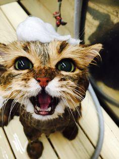 Fuu-chan #neko #cat (via foochan0711)