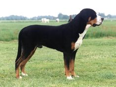 greater swiss mountain dog - Google Search