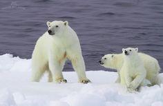 Pola Bears family Barents Sea, Russia, July 2011