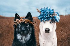 Fantastic pretty dogs detail are available on our web pages. Read more and you will not be sorry you did. Pretty Animals, Cute Funny Animals, Cute Baby Animals, Animals And Pets, Cute Animal Pictures, Dog Pictures, Beautiful Dogs, Animals Beautiful, Wolf