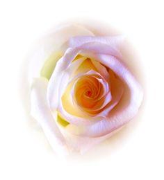 Taiteellinen ruusu 2