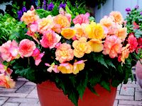Begonia 'Apricot Shades ' perfect for patios, flowers its heart out whatever the whether!
