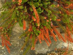 Autumn Moss in Nova Scotia, by Jane Thornley. #orange #green