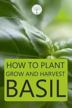 How to Plant, Grow and Harvest Basil How To Harvest Cilantro, How To Harvest Lettuce, Vegan Recipes Plant Based, Basil Plant, Herb Garden Design, Grow Your Own Food, Growing Herbs, Companion Planting, Gardening For Beginners