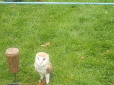 Barn owl at Agatha Christie Fete