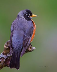 American Robin by ~ Michaela Sagatova ~, via Flickr