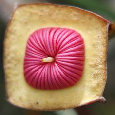 Eucalyptus tetrapetra. Weird looking flower...
