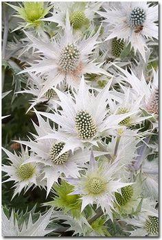 The silvery thistles of Eryngium planum