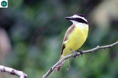 https://www.facebook.com/WonderBirdSpecies/ Great kiskadee (Pitangus sulphuratus); Central and Souh America; IUCN Red List of Threatened Species 3.1 : Least Concern (LC)(Loài ít quan tâm) || Đớp ruồi bạo chúa Kiskadee; Họ Đớp ruồi bạo chúa-Tyrannidae (Tyrant Flycatcher); Trung và Nam Mỹ.