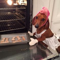 Dachshund baking cookies. Hair curlers, oven mitts, apron and all!