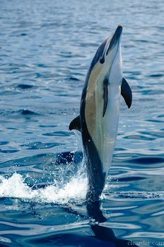 Short-Beaked Common Dolphin by clcarder