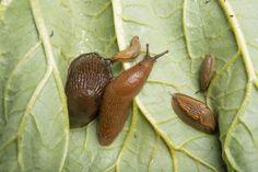 Har du mye brunsnegler i hagen? Les denne saken - Aftenbladet.no