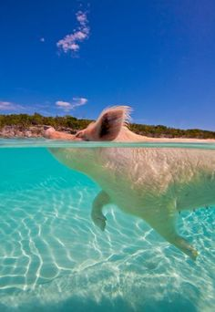 I want her BIG framed above the fireplace. (Bahamas pigs - Todays Whisper)