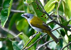 Yellow-shouldered grosbeak (Parkerthraustes humeralis) is traditionally in Cardinalidae, but biochemical evidence suggests it is a tanager.