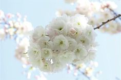 Shirofugens also bloom later in spring and have double pink-tinged white flowers.