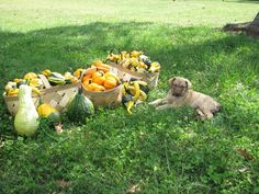 Ellis Farms Chesapeake Bay Retriever Shelby - From Aug. Chesapeake Bay, Farms, Labrador Retriever, Sayings, Labrador Retrievers, Homesteads, Lyrics, Labrador, Labrador Retriever Dog