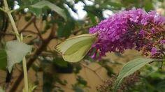 Otras mariposas comen mi jardin