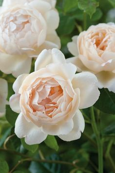 David Austin Roses, Fragrance, Flowers, Plants, Gardening, Climbing Roses, Native American, Outdoors, Strong